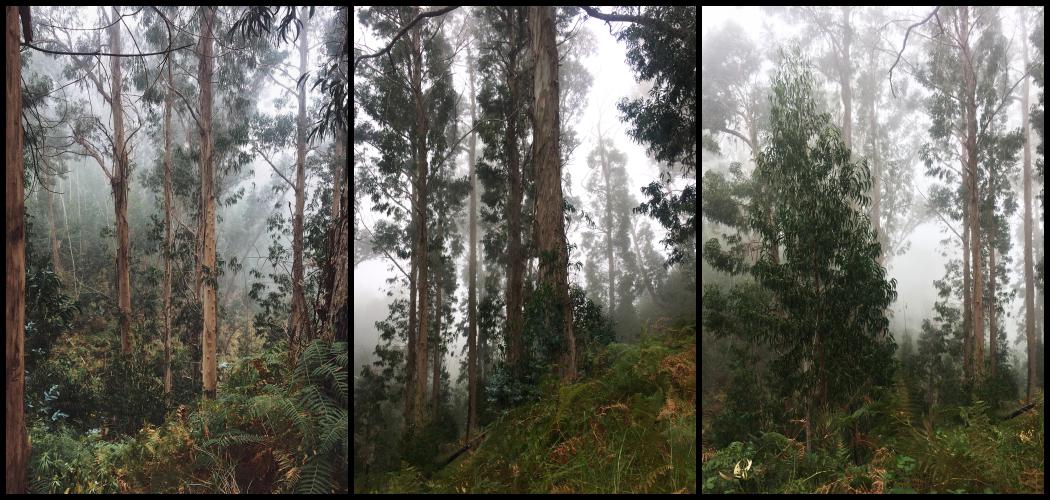 eukaliptusowy-las-madera